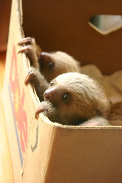 @Abbie udy-stokes a banana box fill of baby sloths just for you. merry Christmas :) thanks Aunt Krista:)