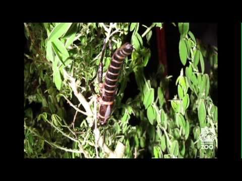 Secret life of the Lord Howe Island Stick Insect