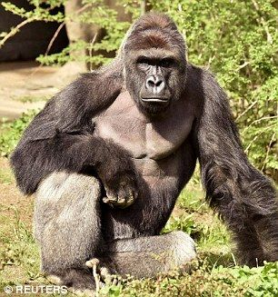 Cincinnati's Harambe gorilla's name giver shares heartwarming video of silverback as baby   Daily Mail Online