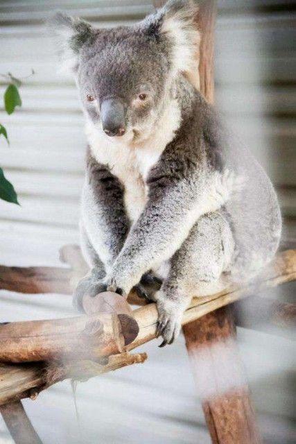 オーストラリアで初めに作られたコアラ園として知られる「ローンパイン・コアラ・サンクチュラリ」ブリスベン 旅行・観光のおすすめスポット!