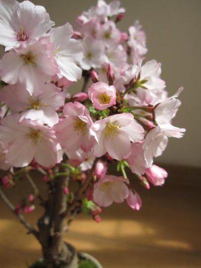 サクラ盆栽【桜盆栽】ミニ桜盆栽桜盆栽でお花見2014年春開花サクラ盆栽ミニ盆栽御殿場桜盆栽【桜盆栽でさくらのお花見】ちなみに海外でもBONSAIボンサイと言います。一重のピンクがかわいいです。【桜盆栽】
