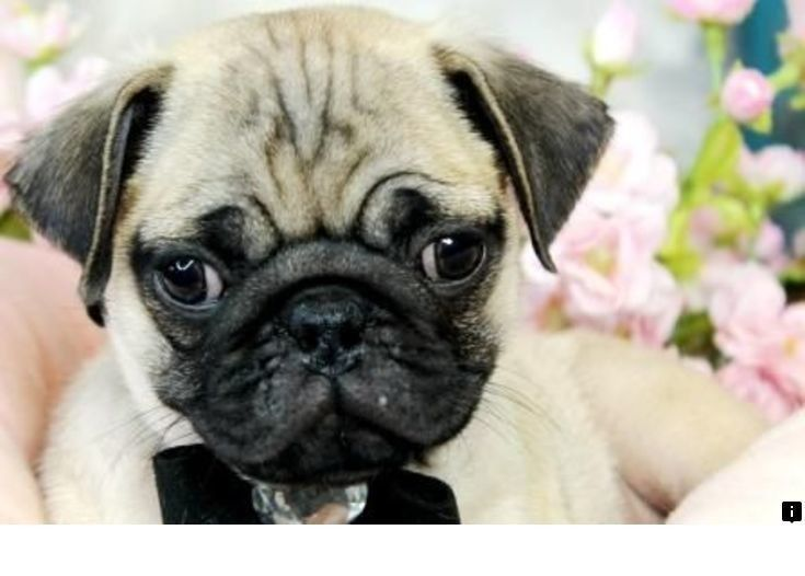 Read Information On Pugs For Adoption Near Me Follow The Link For