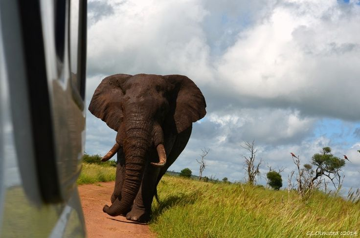Being followed by a South African elephant in Kruger National Park was quite a thrill. http://geogypsytraveler.com/2014/07/15/followed-elephant/
