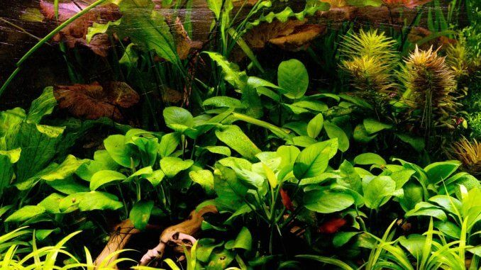 Anubias Nana The Full Guide To Caring Planting And Propagation Banner Plants Planted Aquarium Short Plants