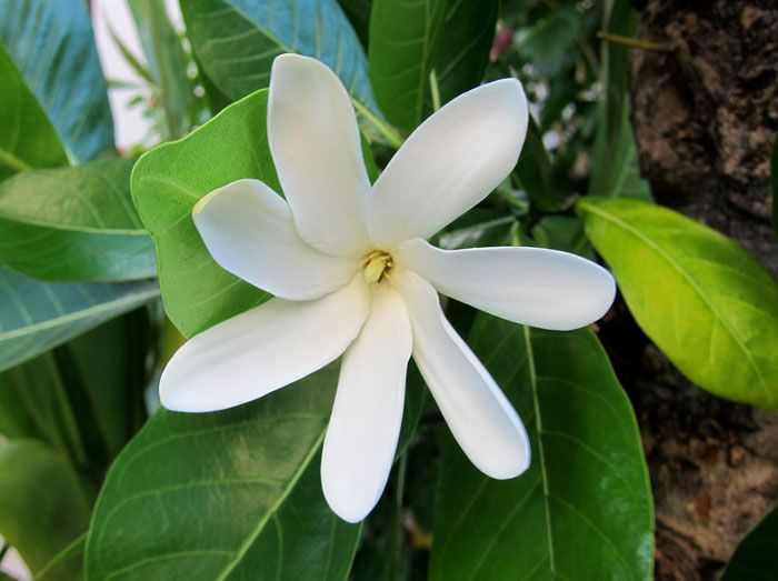 Tiare - Tahitian gardenia. Odour profile: tropical Tahitian gardenia scent with an attractive smell which often reminds us of suntan lotion in perfumes due to its frequent use in such products; monoi essence is made by macerating tiara in coconut oil. ティアレ