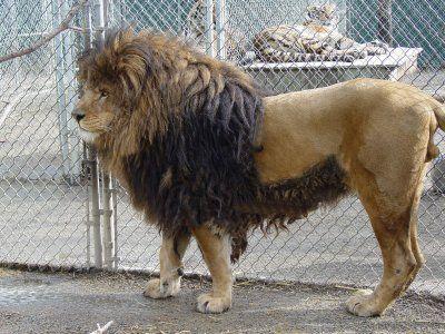 Barbary Lion (Extinct) - via: http://animalworldevolution.blogspot.in/2011/01/list-of-extinct-animals-in-last-100.html