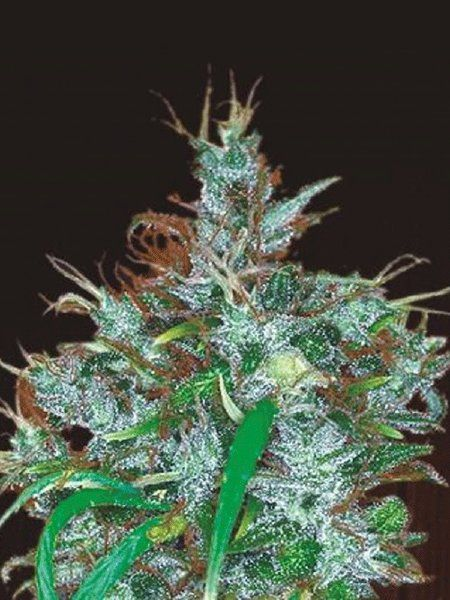 Panama haze is a marijuana strain with outstanding results. It is a pure sativa with psychedelic effects.