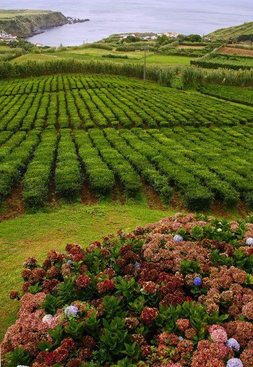 Tea plantation, Azores , Portugal