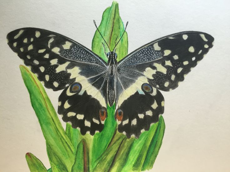 Citrus Swallowtail butterfly, Polychromos color pencils on mix media paper