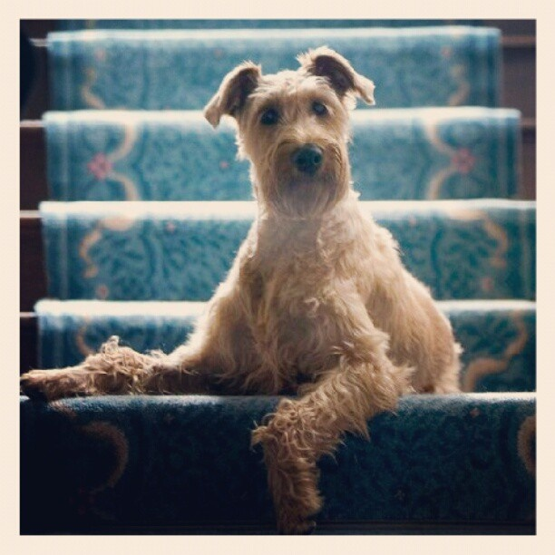 145 best Dogs images on Pinterest | Pets, Airedale terrier and Doggies