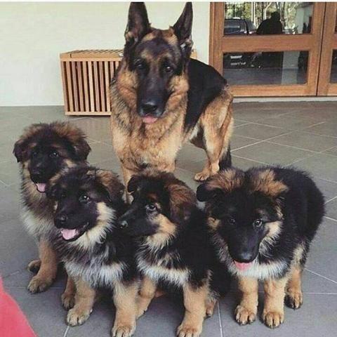 Regalo cachorros de pastor aleman - Barcelona - Pastor Alemán | MERKATIA.COM