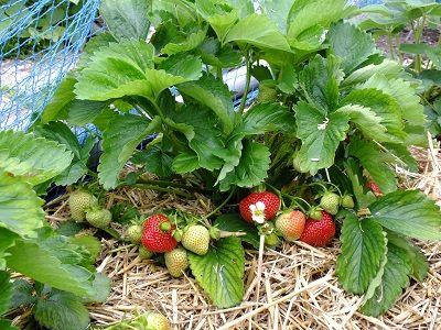 Diana's mooie moestuin: Aardbeien kweken en verzorgen.