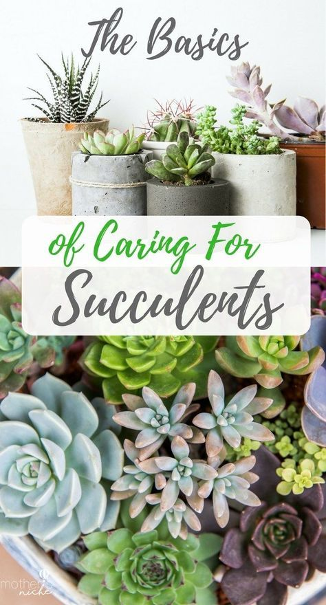The Basics of Caring for Succulent Plants   I see so many cute & easy succulent projects... now how do I keep them green?
