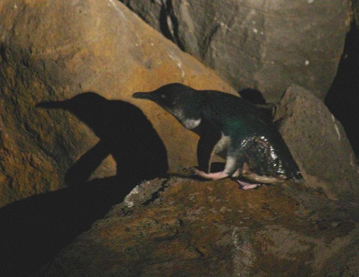 Penguins @ St Kilda Pier