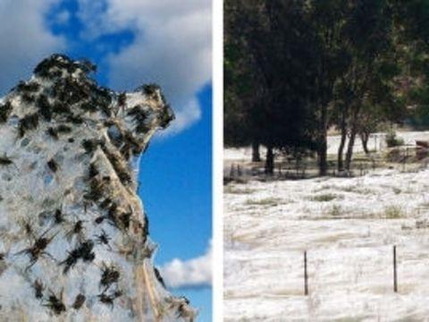 İnanılmaz doğa olayları  Avustralya'nın Wagga Wagga kasabasında selden kaçan binlerce örümcek, su değmeyen az sayıdaki yere canını attı. Burada tedbir amaçlı hemen ağlarını ören örümcekler ortaya inanılmaz manzaralar çıkardı.