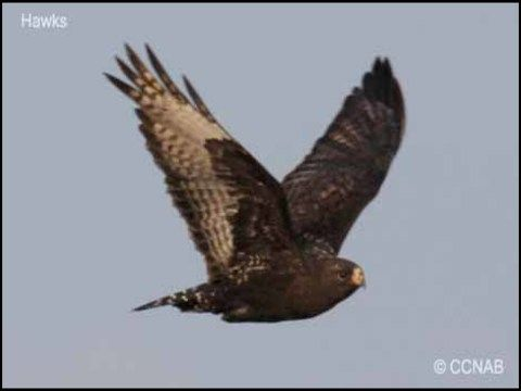 Types Of Hawks Southern Ontario | Fishing | Types of hawks