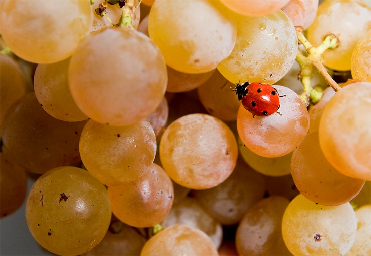 White #grapes with a beautiful ladybird. #umbertocesari #wine #nature