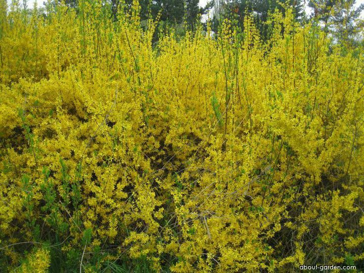 65 best images about forsythia intermedia on - Forsythia x intermedia ...