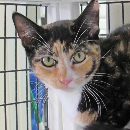 Cat Kittens For Adoption In San Diego Kitten Adoption Cat Adoption Cats And Kittens