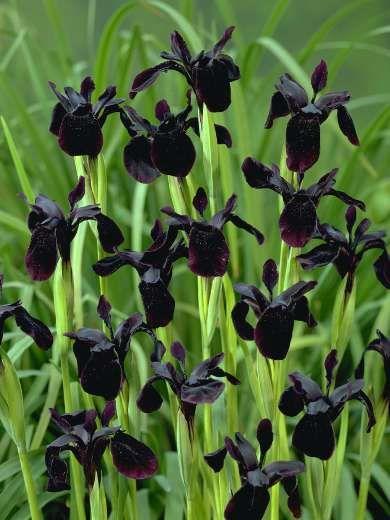 Sysikurjenmiekka. Iris Chrysographes. Tunnetaan mustana iiriksenä, väri oikeasti hyvin tumma violetti. Lehdet 70 cm, kukintovarret 25-50 cm. Tuoksuva. Kukkii heinä-elokuulla. Aurinkoinen paikka, kosteutta pidättävä maa.