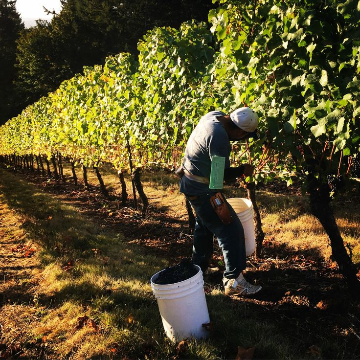 Wine tastes like magic, but the grape harvest is equal parts agriculture and science.