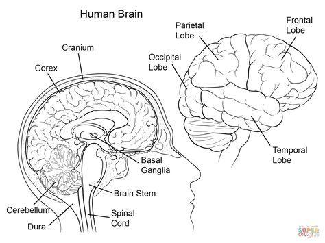 Human Brain Anatomy | Super Coloring
