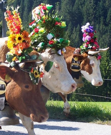 Every year in September, thousands of cows are decorated with beautiful floral collars, head pieces, and bells, for their return from their summer Alpine pastures, back to the valley. We witnessed these festivities in Oberstdorf in the Southern Bavaria. The locals were dressed in dirndl and lederhosen (traditional clothes) as part of the festival, there was also wonderful traditional music from a local band, locally brewed beer, plenty of local brat, and delicious, HUGE pretzels.