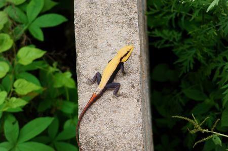 Yellow Garden Lizard Photo by Akhilesh Raja — National Geographic Your Shot