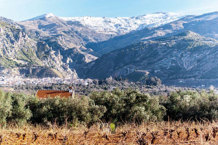 El secreto del Olivo at Nigüelas, Granada (Andalucía, Spain) #Landscape #wonderfulviews #mountain #snow #vineyards #olives #naturaloliveoil #beautifulweather #sun #warm #winter