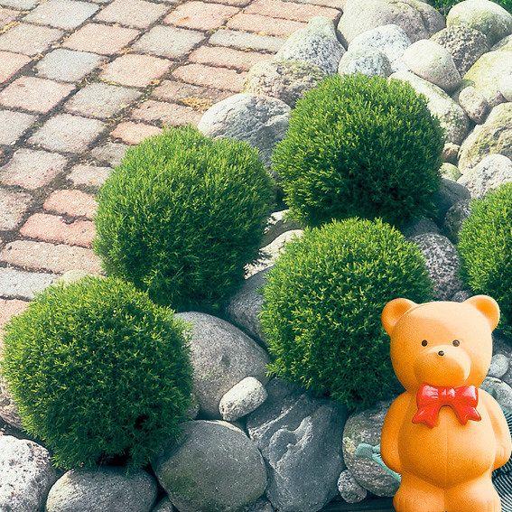 streichellebensbaum teddy pflanzen pinterest. Black Bedroom Furniture Sets. Home Design Ideas