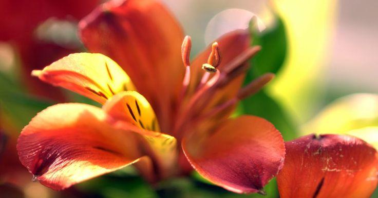 Cuándo podar los lirios de día. Los lirios de día tienen gran variedad de tamaños y colores. Al mezclar y combinar diferentes variedades y colores de lirios, los jardineros pueden lograr abundancia de flores coloridas que durarán casi todo el verano. Los lirios de día necesitan podarse constantemente a lo largo de su crecimiento primario y estación de florecimiento, el verano. ...