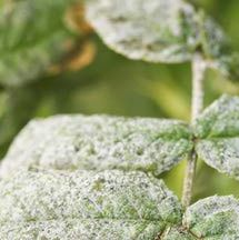 How to Fight Powdery Plant Mildew with Baking Soda and Soap