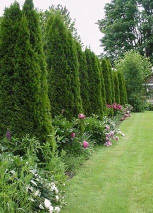 peonies and evergreens | arborvitae trees with peonies | Dream Home