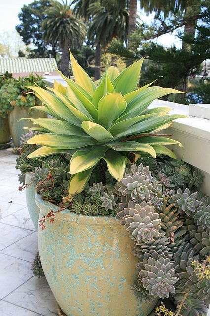 Agave attenuata 'Kara's Stripes' in pot at terrace by David Feix Landscape Design, via Flickr Height: 3 - 4 feet Width: 4-6. Hardy to 28°F