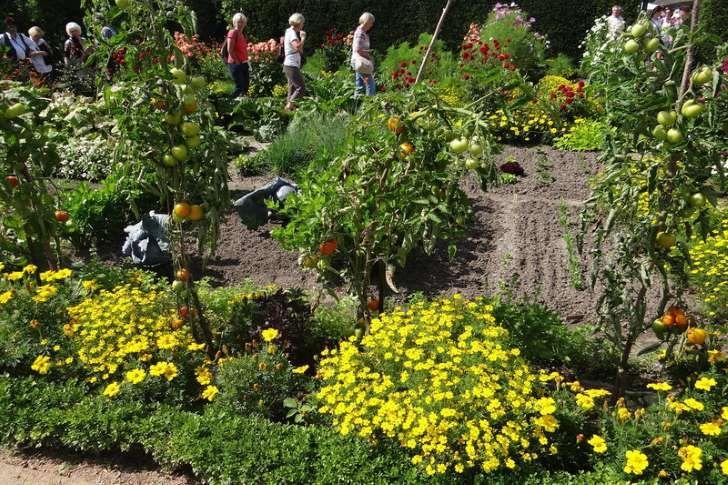 Ogród angielski to dla wielu osób synonim idealnego ogrodu, w którym nie wydzielono osobnych rabat dla roślin ozdobnych i użytkowych. Tu rosną obok siebie kwiaty, warzywa, zioła oraz drzewa i krzewy owocowe. Wszystko sprawia wrażenie przypadkowości, ale tak naprawdę zostało precyzyjnie zaprojektowane. Powstały fantazyjne aranżacje roślinne, w którym poszczególne rośliny mają możliwie jak najlepsze warunki do rozwoju. Na przykład by chronić pomidory przed szkodnikami obok nich posadzono…
