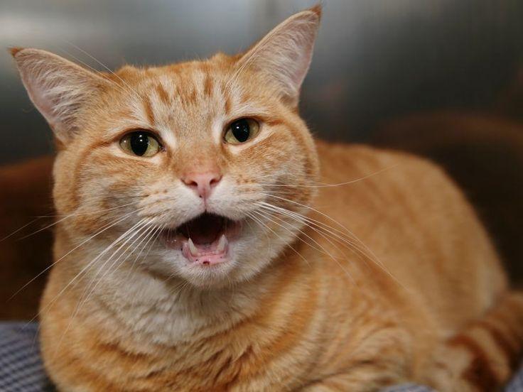 Wenn Katzen plötzlich ständig Miauen und gar nicht mehr damit aufhören wollen, gibt es dafür meistens Gründe. Welche können das sein?(adsbygoogle = window.adsbygoogle || ...