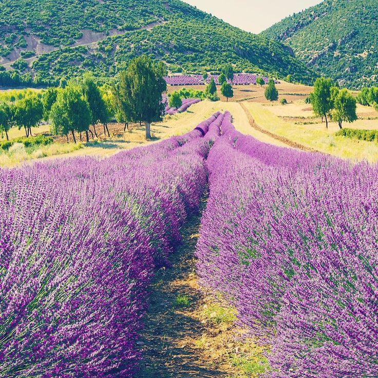Lavender fields Isparta - Türkiye