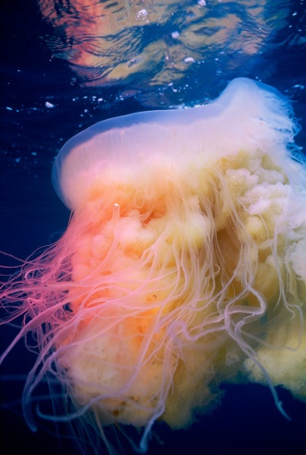 Lion's Mane Jellyfish. The largest jelly in the world, it can have a bell up to 8 feet across and tentacles 150 feet long, but ranges in sizes much smaller than this.