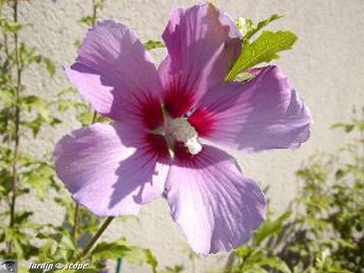 Comment bouturer l' Hibiscus de jardin
