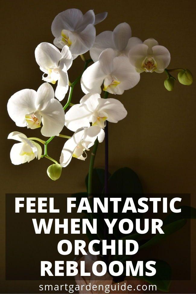 bc11fcfee4c3882bc62aeea2b36ac11f - How Do I Get My Phalaenopsis Orchid To Rebloom