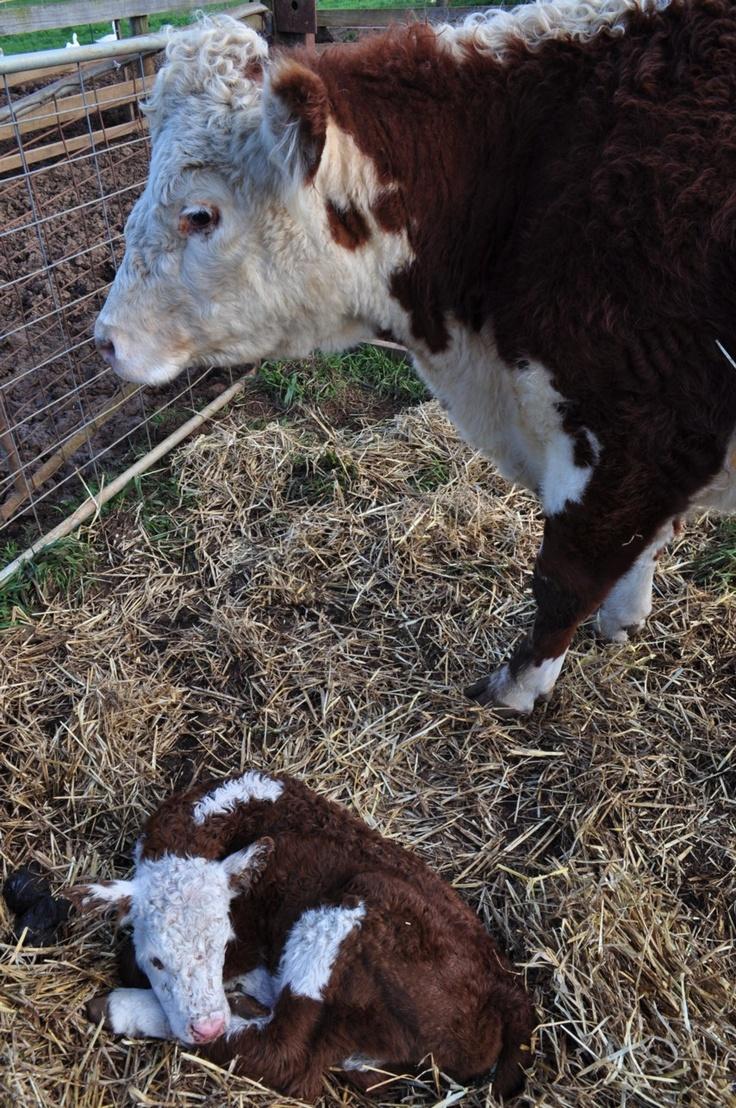 21 best our hereford calves images on pinterest calves