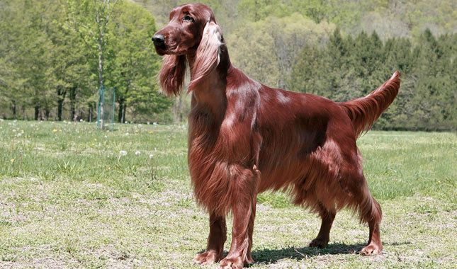 irish setter: the most aesthetically pleasing of all dogs, i think <3