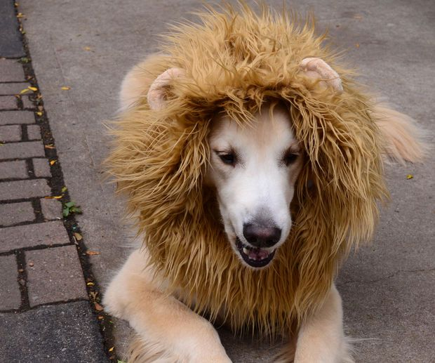 Free sewing tutorial for lion mane dog costume