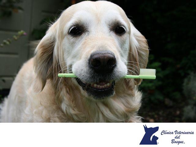 VETERINARIA DEL BOSQUE. ¿Sabes que es la profilaxis dental? Este término se refiere a la limpieza dental para perros y gatos. Al igual que sucede con los humanos, los alimentos se acumulan entre sus dientes, ocasionando coloración amarilla, acumulación de placa y gingivitis (inflamación de las encías). Es recomendable realizar limpieza cada tres días con cepillo de dientes y pasta especial para perros. En Veterinaria del Bosque contamos con tratamientos para mantener los dientes de tu…