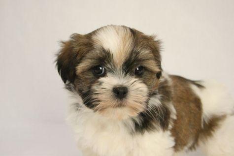 Havanese Shih Tzu Mix Teddy Bear Puppy A Baby Maggie
