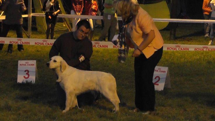 Miskolc Marathon Dog Show 2013.04.27. Golden retrieverek éjszakai show.