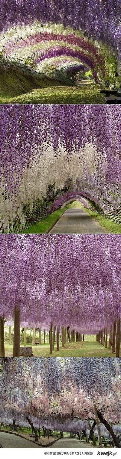 100 m of inner road to our house... Why not make it a wisteria tunnel? =)