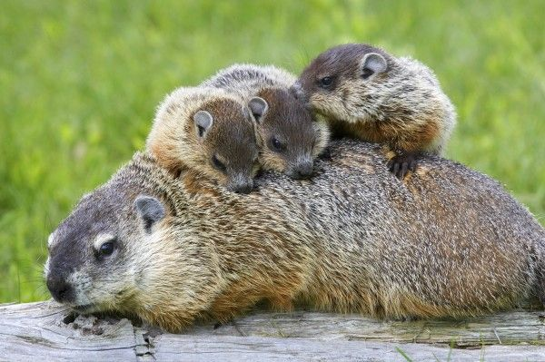 "Groundhog Family (Marmota monax) - photo by W. Perry Conway;  Groundhogs are also called woodchucks.  They  are a type of rodent known as a marmot, and marmots are closely related to squirrels.  They are found over all of North America. They are ""true hibernators"" – going into a dormant state where their body temperature and heart rate fall dramatically from late fall until late winter or early spring."