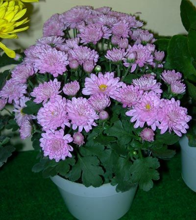 Pot Mum or Florist's Chrysanthemum (Chrysanthemum morifolium)    Filters 5/5 home air pollutants. [Note: Poisonous if eaten or chewed by dogs, cats and horses]