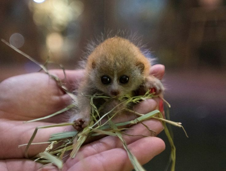 Ce petit loris lents pygmées né le 9 juin